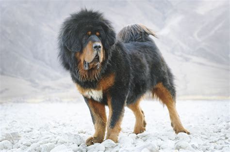 how much is a tibetan mastiff puppy 10 most expensive breeds theviralmob