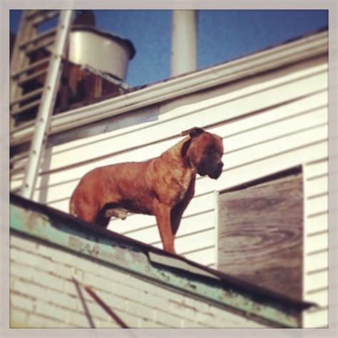 dog on a roof another shot of the famous roof dog popville