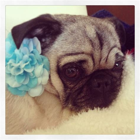 why do pugs sleep so much 95 best images about soooo puggable on pug meme pug and pug dogs