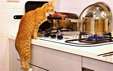 Cat Kitchen by How To Create A Pet Safe Home Cammy