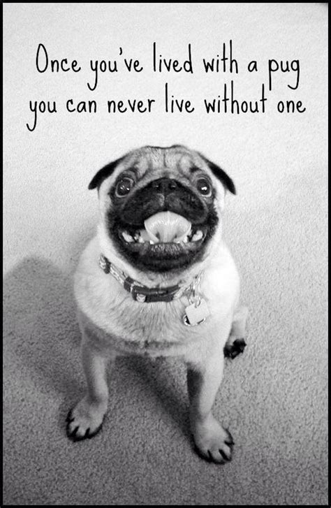 how to pugs live for 38 best images about pug on pug