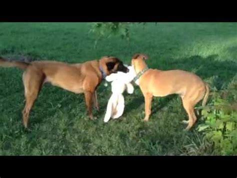 greyhound/malinois mix puppy with belgian malinois tearing