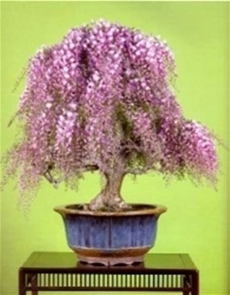 glicine in vaso prezzo glicine wisterria sinensis wisterria sinensis schede