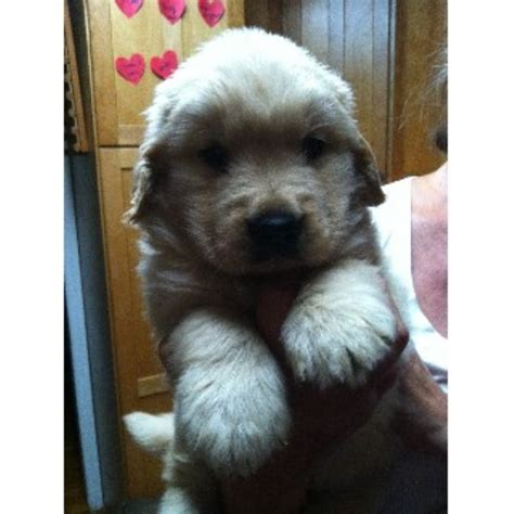 new jersey golden retriever breeders picabo golden retrievers golden retriever breeder in milltown new jersey
