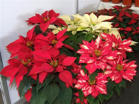 imagenes flores de nochebuena im 225 genes de flores de nochebuena imagui