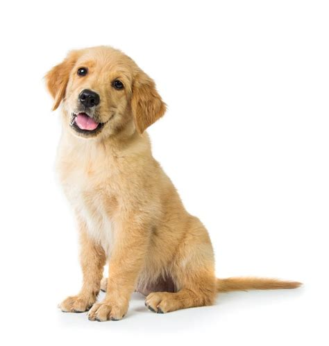 golden retriever birth golden retriever gives birth to extremely puppy that is 1 of only 3 known to