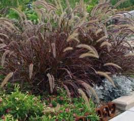 purple red fountain grass hello hello plants garden