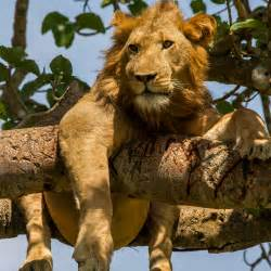 where to find tree climbing lions in uganda : travelage west