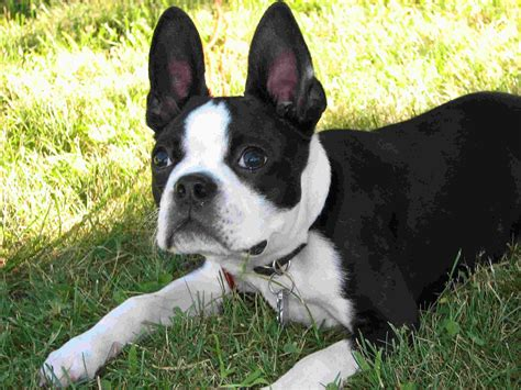 terrier puppy boston terrier puppy pictures puppy pictures and information