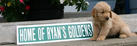 golden retriever breeders rhode island golden retriever rhode island assistedlivingcares