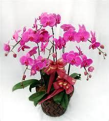 Anggrek Bulan Taiwan info keren paling top untuk anda rangkaian bunga anggrek bulan