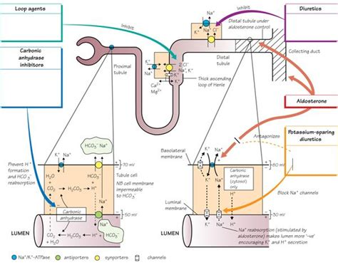 Diuretic Also Search For Drugs Acting On The Kidney Diuretics Pharmacology