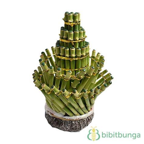 Tanaman Bambu Rejeki bambu rejeki lighthouse 5t bibitbunga