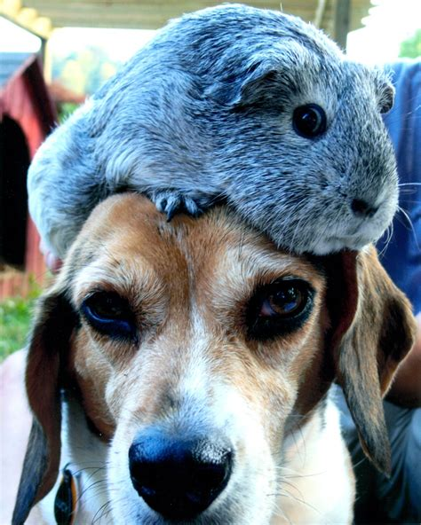 guinea pigs and dogs calling all cats dogs and guinea pigs mountain xpress