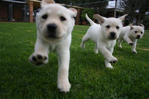 puppies puppies puppies ta tara s tarasdogtraining