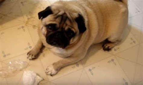 how big do pugs get omg these pugs are in big trouble find out what they did