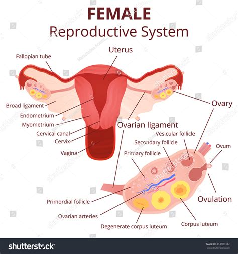 diagram of fallopian and uterus reproductive system uterus ovaries scheme stock