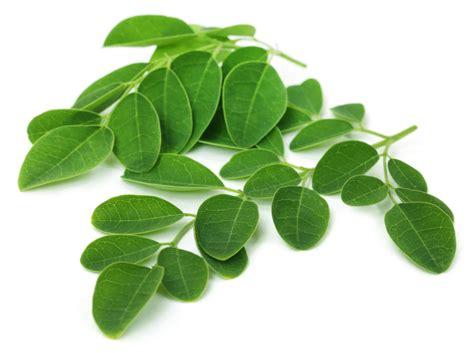 Teh Moringa health benefits moringa oleifera leaf