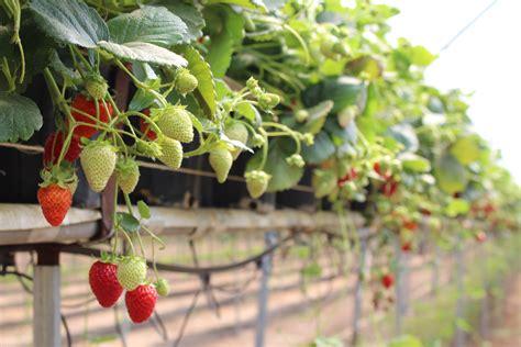 top principles  growing strawberries  substrate