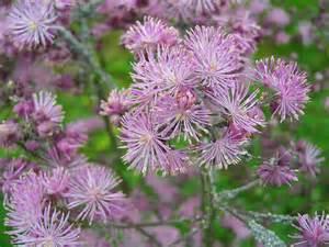 thalictrum aquilegiifolium meadow rue