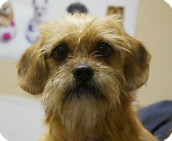 yorkie shih tzu mix for adoption adopted nc yorkie terrier shih tzu mix