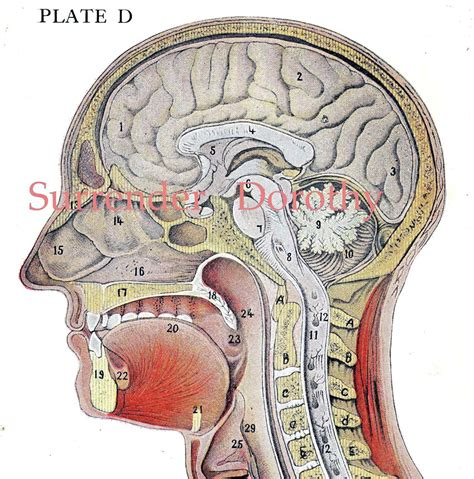 cross section human brain anatomy lithograph illustration