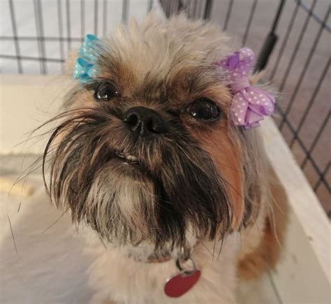 shih tzu with black mask shih tzu coat colors