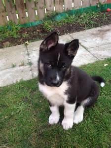 Akita mix puppies akita husky mix breed