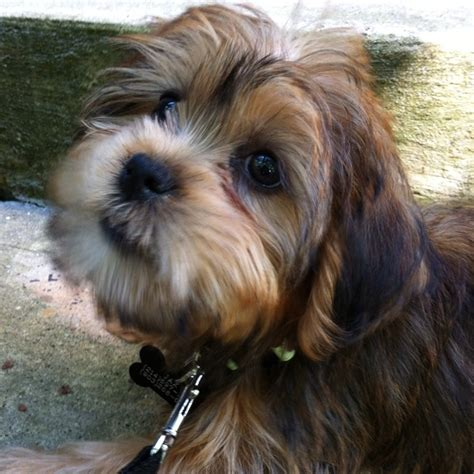 pictures of shorkie dogs with long hair 107 best images about shorkie puppies on pinterest