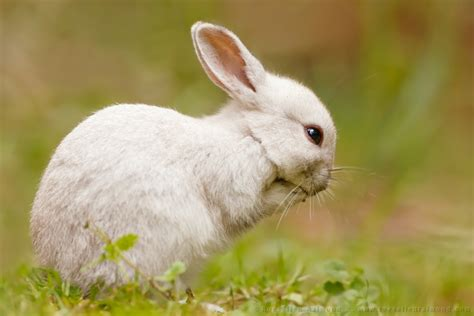 34 Punny White a praying white rabbit roeselien raimond nature photography