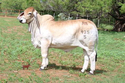 lot 8 miss rb 935 5 camelia cattle in motion cattle auctions live broadcasts