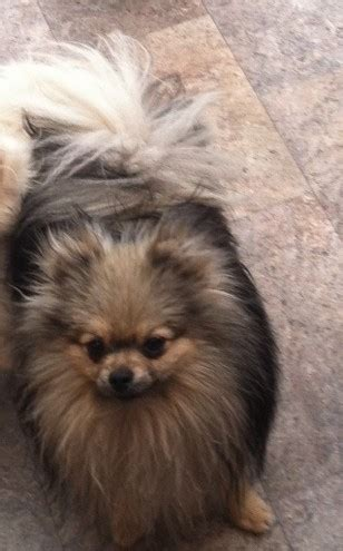 wolf pomeranian puppies for sale pomeranians genuine wolf bournemouth dorset pets4homes