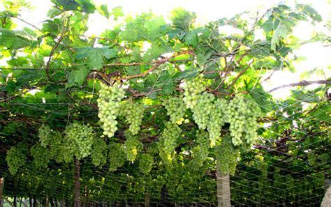 Kebun Bibit Tanaman Bower Vine grape yard bangalore india plant nature photos