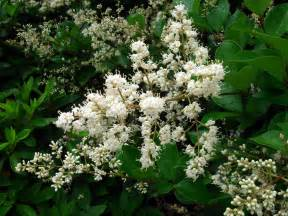 Shrub Flowers - ligustrum japonicum thunberg
