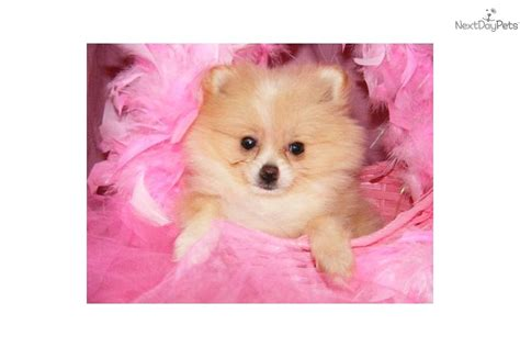 pomeranian puppies for sale in arkansas pomeranian puppy for sale near jonesboro arkansas 9509c568 8cb1