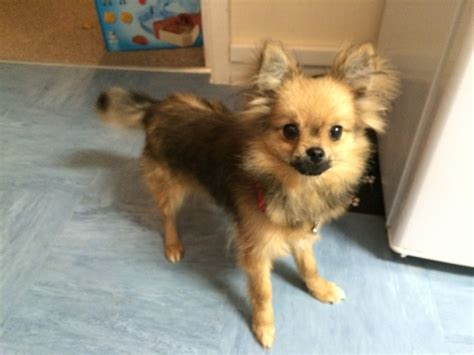 haired pomeranian pomeranian haired chihuahua 6month wadhurst east sussex pets4homes