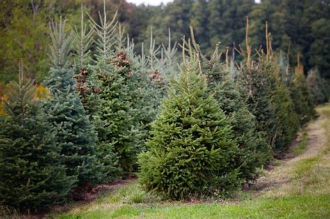 christmas trees on southside of binghamton where to cut your own tree in western new york newyorkupstate
