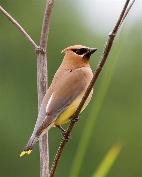 nw bird blog cedar waxwing