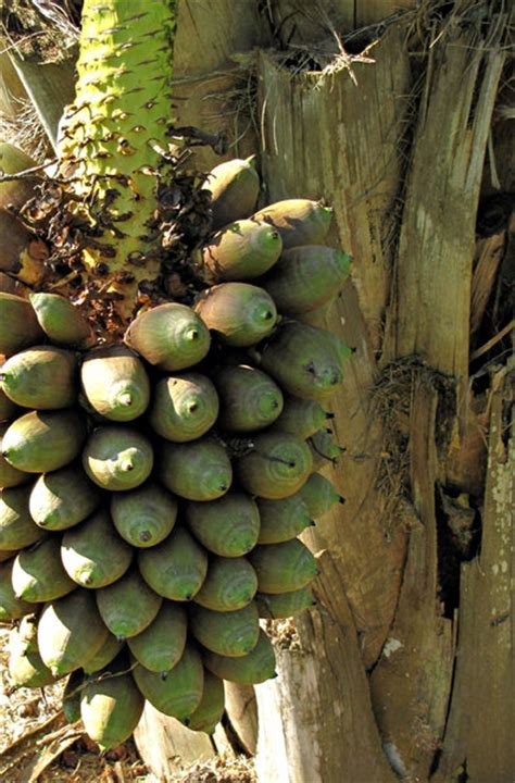 fruit bearing palm trees free stock photos rgbstock free stock images