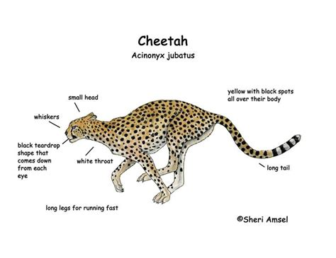 jaguar cycle diagram 7 best images about cheetah project on facts