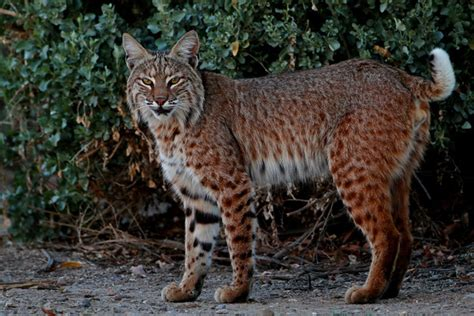 bobcat attacks bobcat in sedona ariz with rabies attacks four and a before being put
