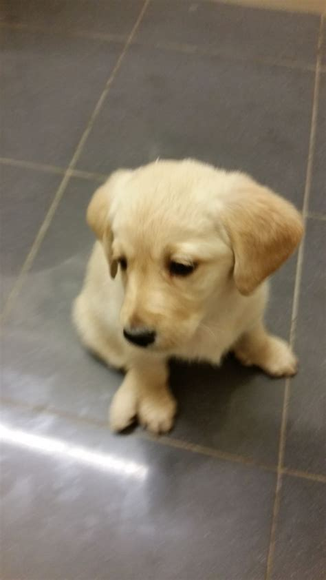 labrador doodle puppies for sale adorable lab doodle puppies derby derbyshire pets4homes