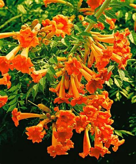 B Ume G Nstig Kaufen 581 by Schnell Wachsende Blumen Schnell Wachsende Bodendecker