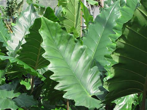 alocasia gagaena california elephant ear plant alocasia gagaena california elephant ear plant