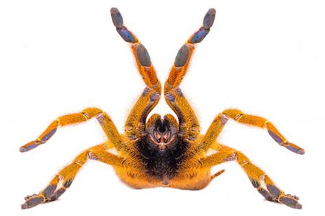 Flat For Sale by Orange Baboon Tarantula For Sale Reptiles For Sale