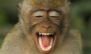 cheeky monkey  macaque    laugh