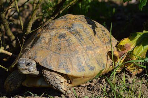 alimentazione testudo hermanni testudo valdarno allevamento di tartarughe e