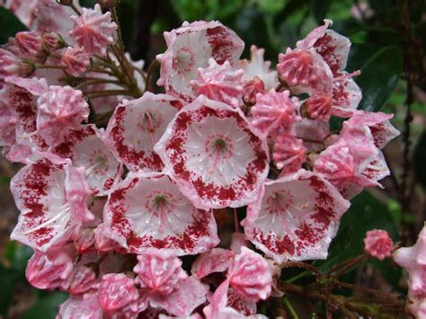 yankee doodle flower a welkinweir perspective pennsylvania s state flower