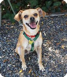 beverly chihuahua pug beverly ca pit bull terrier mix meet rosie a for adoption