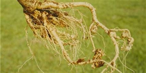 Nutris Unt Daun Akar Buah Bunga2bungkus manfaat akar pepaya manfaat daun pepaya biji bunga dan akar pohon pepaya